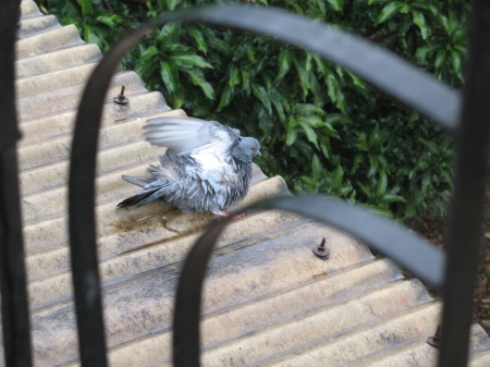 pigeon antics