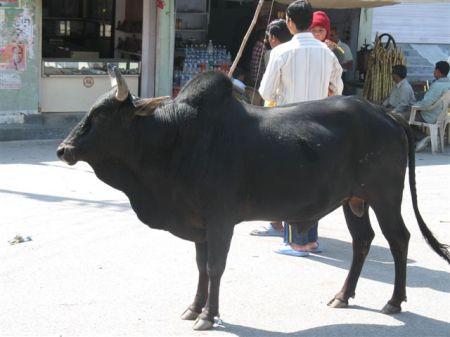 11-regal bull