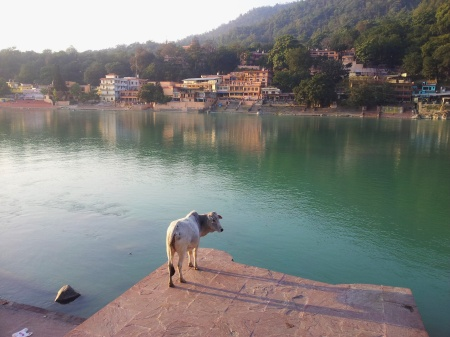 cow at ram jhula